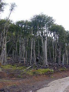 La lenga, roble de Tierra del Fuego, haya austral o roble blanco, (Nothofagus pumilio), es un árbol de la familia de las Nothofagaceae (o de la familia Fagaceae según otra clasificación). Es una especie representativa del bosque andino patagónico del sur de Argentina y de Chile que es típico del Bosque magallánico caducifolio. http://es.wikipedia.org/wiki/Ecorregi%C3%B3n_bosque_subpolar_magall%C3%A1nico