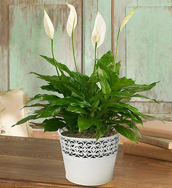 White Flowering House Plants