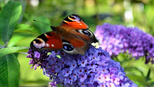 Butterfly on purple butterfly bush