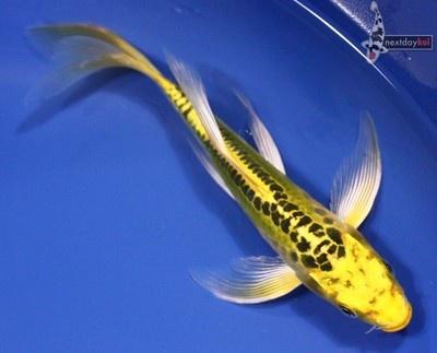5 5 doitsu ki matsuba butterfly fin live koi fish pond for Koi fish dealers