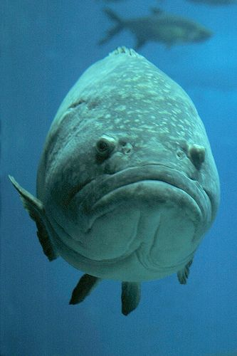 Big fish big frown i think it 39 s a grouper i 39 ve seen for Large ocean fish