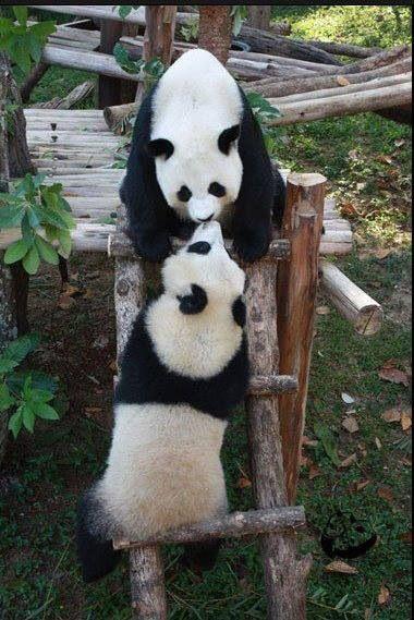 Panda kisses.