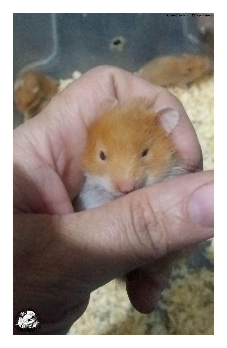 Filhote de Hamster Sírio Angorá