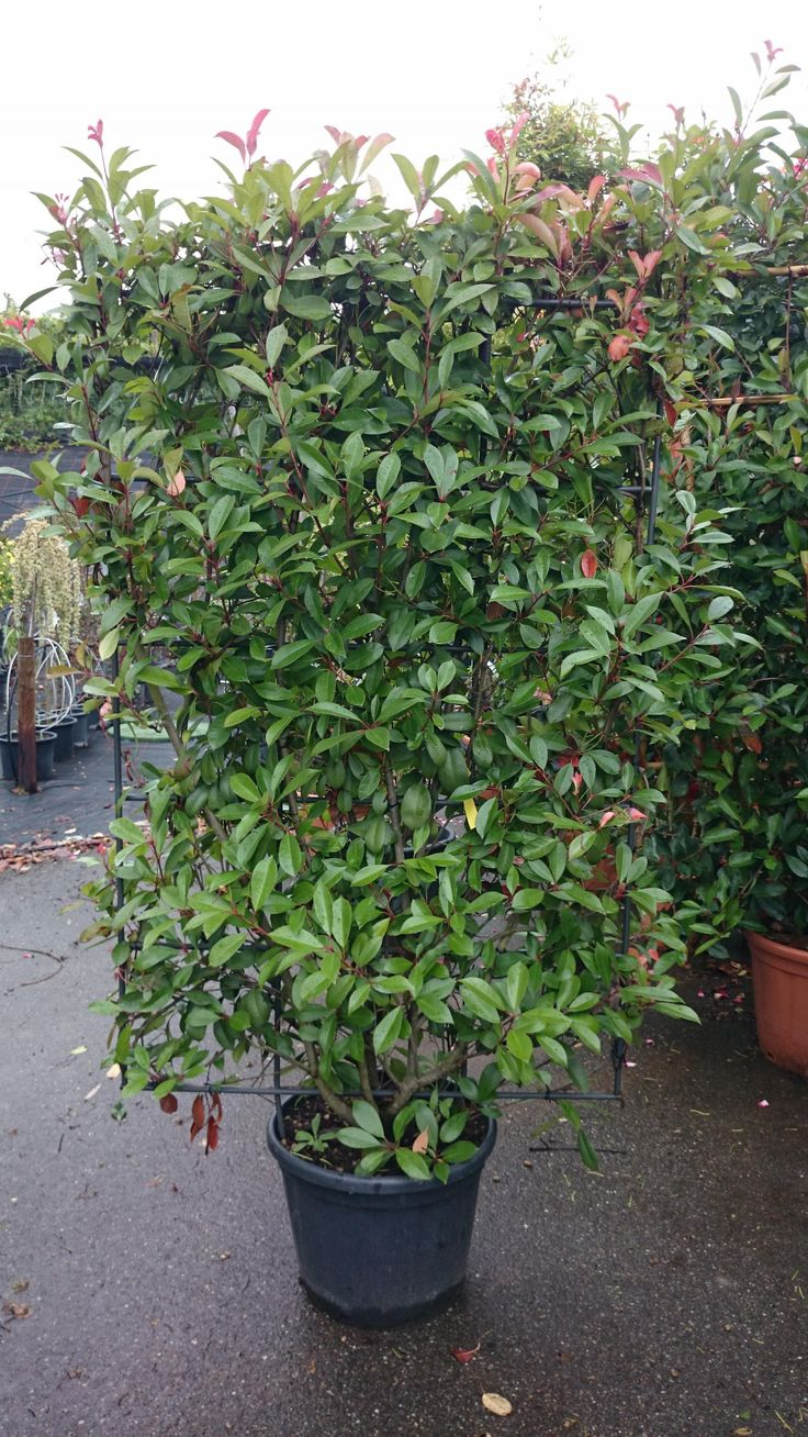 photinia fraseri 39 red robin 39 spalier im container 180x100 cm hxb can also be used as a hedge. Black Bedroom Furniture Sets. Home Design Ideas