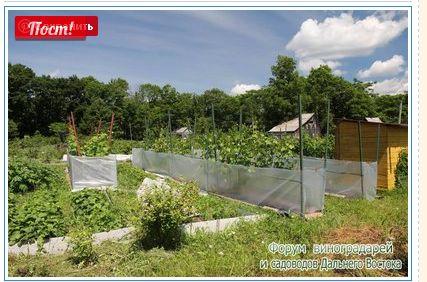 Текущие работы на винограднике - Страница 5 - Интернет форум виноградарей и садоводов Дальнего Востока