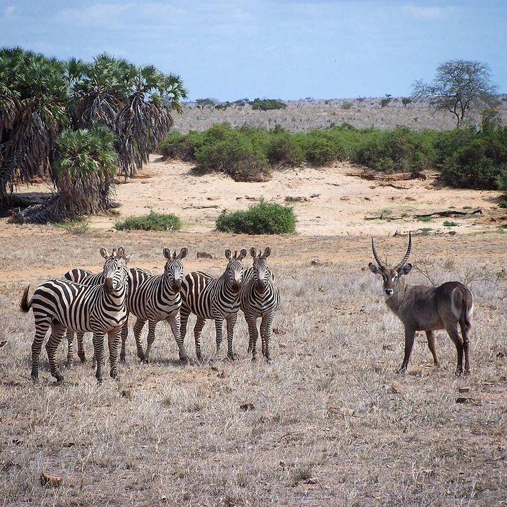 Waterbuck and zebras look at me? I love Safari