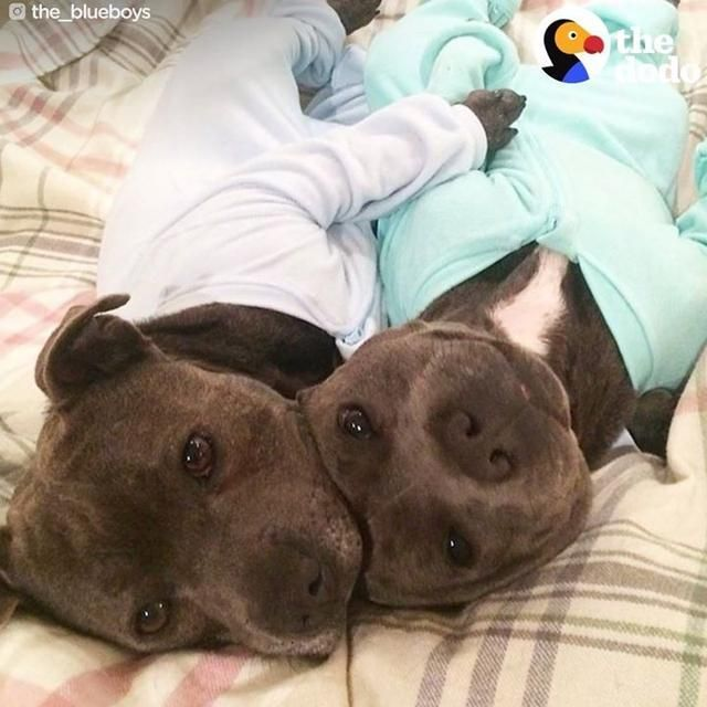 Meet The 2 Most Pampered Pit Bulls In The World Pitbull Terrier