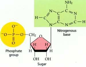 Nucleic Acids are made up of monomers of nucleotides,which are made up of phosphate, sugar, and nitrogen.