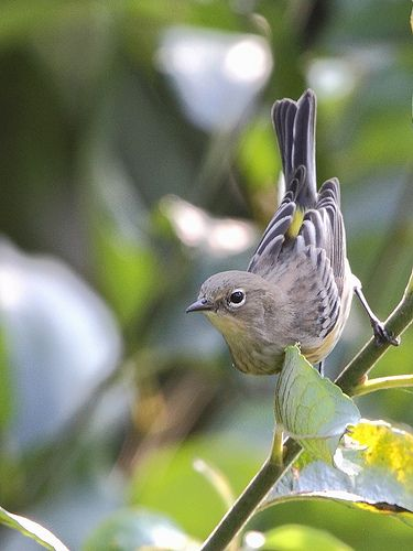 Yellow-rumped Warbler (Setophaga coronata). Four closely related North American bird forms—the eastern Myrtle Warbler (ssp coronata), its western counterpart, Audubon's Warbler (ssp group auduboni), the northwest Mexican Black-fronted Warbler (ssp nigrifrons), and the Guatemalan Goldman's Warbler (ssp goldmani)—are periodically lumped as the Yellow-rumped Warbler. These birds are one of North America's most abundant neotropical migrants. They are primarily insectivorous.