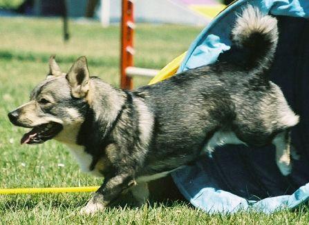 Västgötaspets of Vallhund