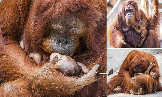 This is the tender moment an endangered orangutan kisses her baby