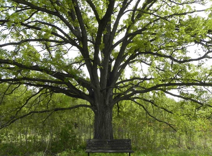 trees pictures | Probably no tree better symbolizes Britain than Quercus robur , the ...