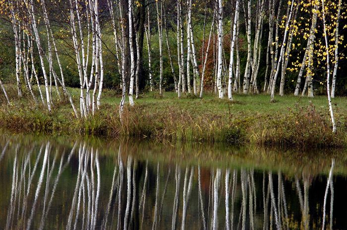 white birch tree - Yahoo Image Search Results