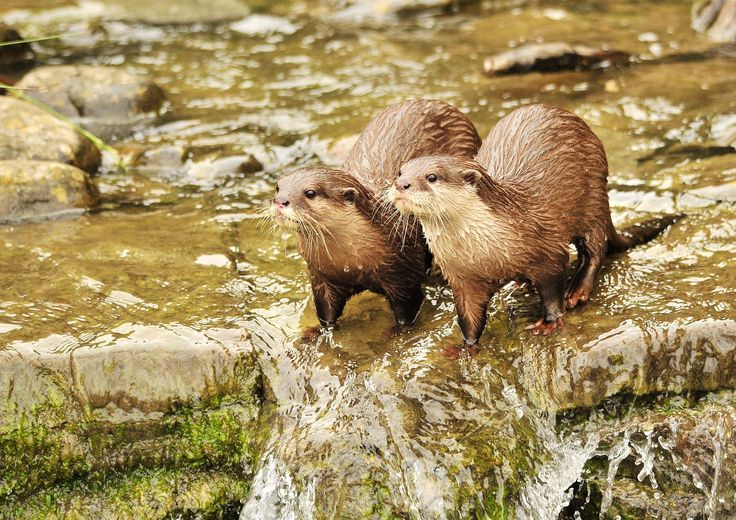 Asian ShortClawed otters at the London Wetland's Centre