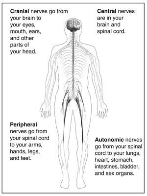 Drawing of the outline of a body showing the nervous system with descriptions of each of the four types of nerves. Cranial nerves go from your brain to your eyes, mouth, ears, and other parts of your head. Central nerves are in your brain and spinal cord. Peripheral nerves go from your spinal cord to your arms, hands, legs, and feet. Autonomic nerves go from your spinal cord to your lungs, heart, stomach, intestines, bladder, and sex organs.