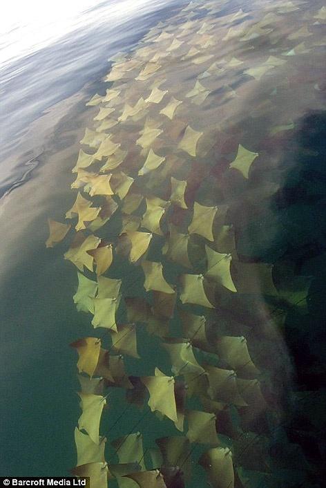 Incredible Stingray Migration #photosAmazing, Ray Migration, Nature, Stingrays Migration, Golden Ray, Ocean, Stingrays Schools, The Sea, Animal