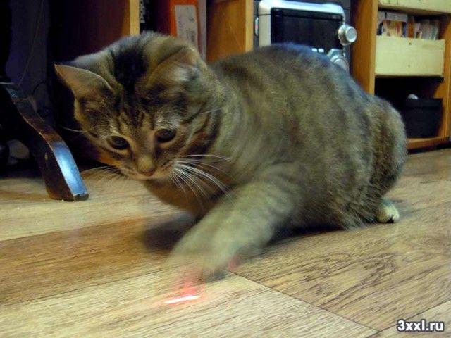 кошка играет с лазерной указкой
