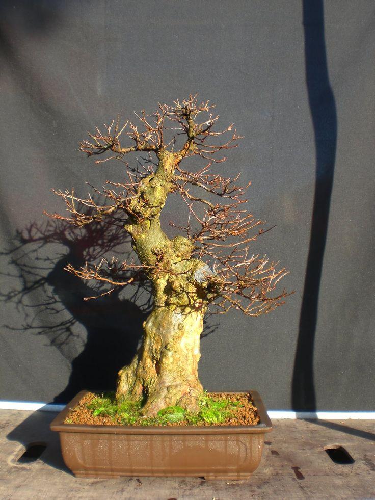 kifu fat acer buergerianum in winter bonsai pinterest fotos b ume und winter. Black Bedroom Furniture Sets. Home Design Ideas