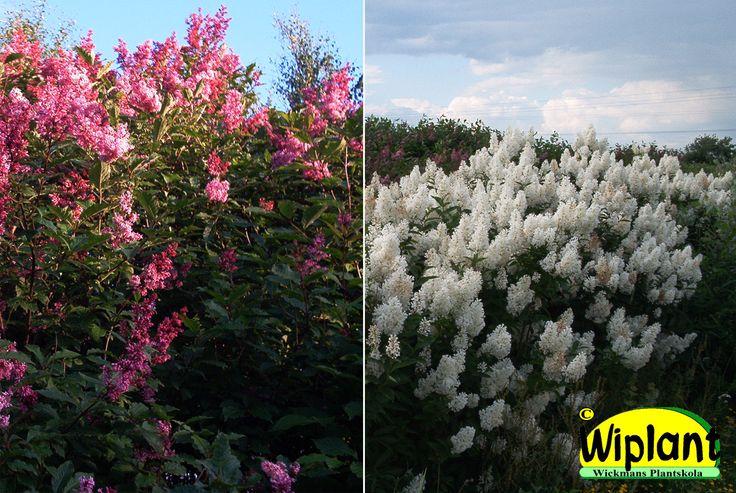 Syringa 'Julia', Norrlandssyren. Kraftig och snabbväxande. Lätt- etablerad. Rosaröda blommor i juni, bra att använda som vindskydd. 1-1,5 m hög.    Syringa 'Holger', Vit syren. Härdig finsk korsning med fina blad,  växer långsammare än ungersk syren men mycket snabbare än vit bondsyren. 1,5-4 m hög. Klippt eller friväxande.