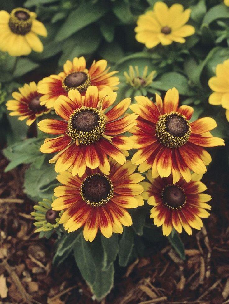 50 Rudbeckia TOTO RUSTIC Live Plants Plugs Garden Home Patio Planters 536