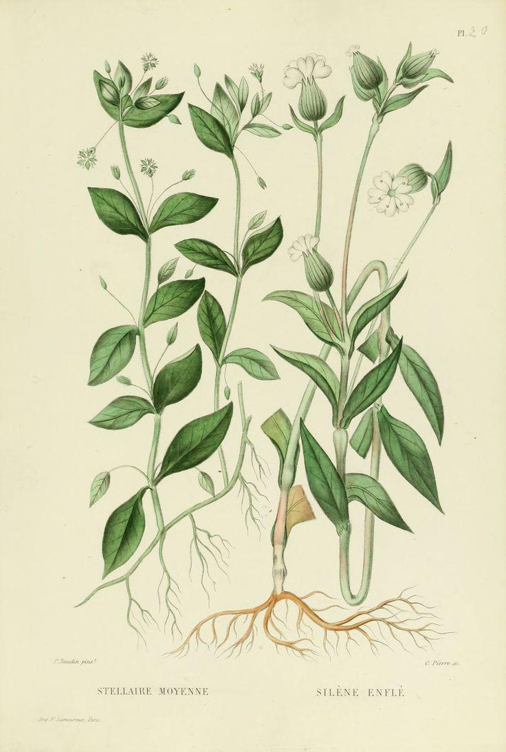 gravures plantes - 0051 silene enfle -
