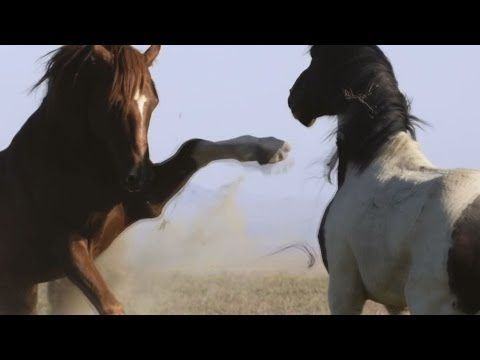 Дикие лошади - Мустанги. Грация скачущих лошадей http://kollegatv.ru/