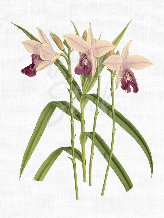 Botanical Illustration Flowers Clipart Digital Download Bamboo Orchids Png Jpg Images For Wedding Invitations Botanical Illustration Botanical Clip Art