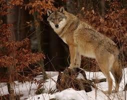 VLK Vlk je nevětším zástupcem psovitých šelem. Může být vysoký až 80cm, vážit 52kg a být dlouhý až 190cm. Plné velikosti dosáhne 1.roku