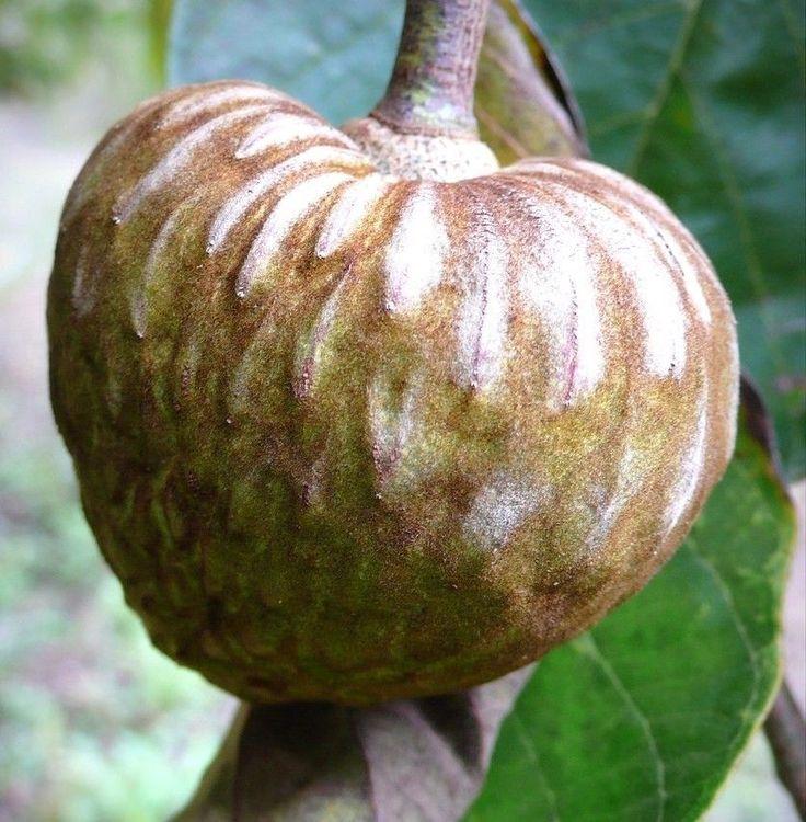 CHIRIMOYA FRUIT cuban ANNONA tropical edible fruit custard apple seed
