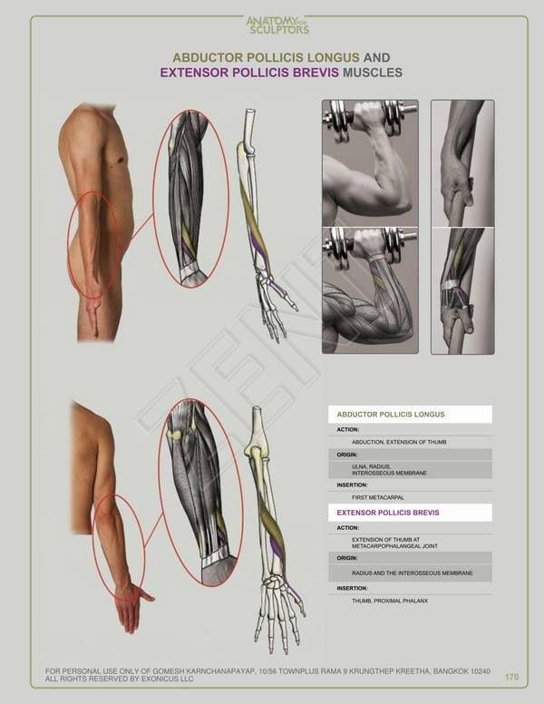 193 Best Anatomy For Sculptors Images On Pinterest Sculptures