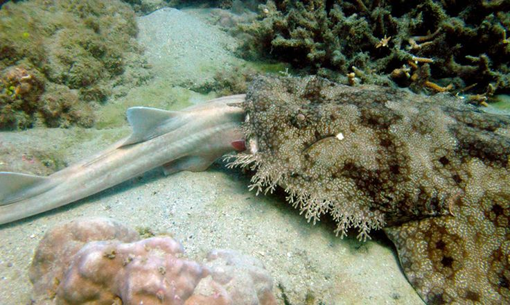 A tasseled Wobegon Shark was seen lying on the substratum with the head of a Brown-Banded Bamboo Shark in its mouth during an underwater visual census of fishes on the fringing reef of Great Keppel Island on the Great Barrier Reef.