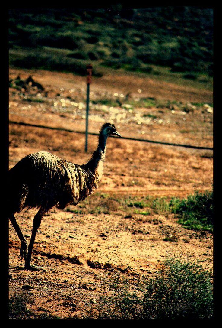 Emu- Flinders Ranges South Australia