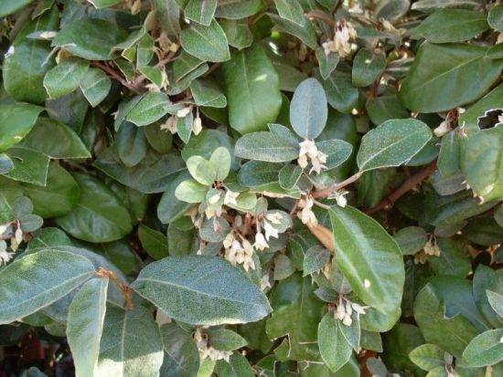 ELAEAGNUS ebbingei - Plantes extérieures