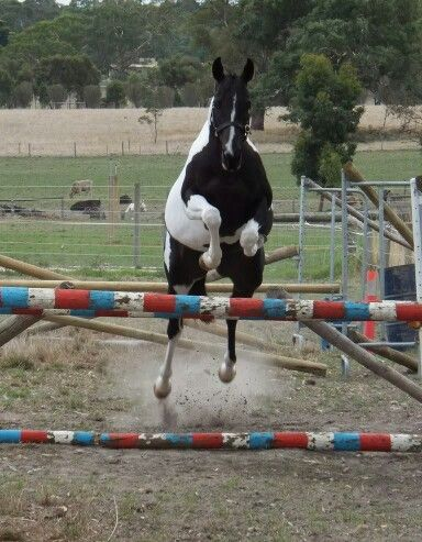 Kenlock Super Elusive by Kenlock Superman (by Spectrum out of an Art Deco mare - bred by Silverwood Stud).  #pinto #pinto warmblood #warmblood