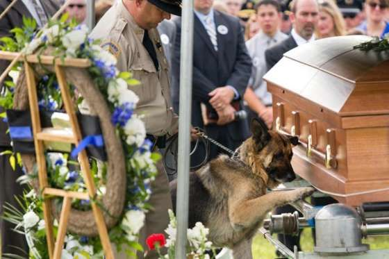 """Kentucky police dog Figo pays his respects to partner Jason Ellis, a 33-years-old officer killed in an ambush 5 days earlier. """"Figo was almost giving him that final hug goodbye. I think that picture brought more tears than anything,"""" Bardstown Police Chief Rick McCubbin told the Daily News in 2013. - Purpleclover.com"""