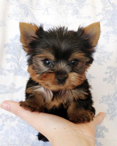 Aloha Friday Pets Teacup yorkie, Yorkie puppy and Teacup