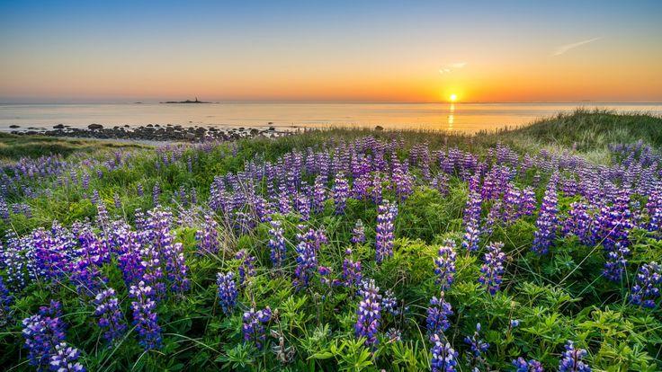 Скачать обои люпины, цветы, Rogaland, Norway, Северное море, побережье, море, Норвегия, Ругаланн, North Sea, закат, раздел пейзажи в разрешении 1920x1080