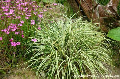 """Ogrodnictwo od A do Z: Turzyca """"ptasie łapki""""-  Carex ornithopoda 'Varieg..."""