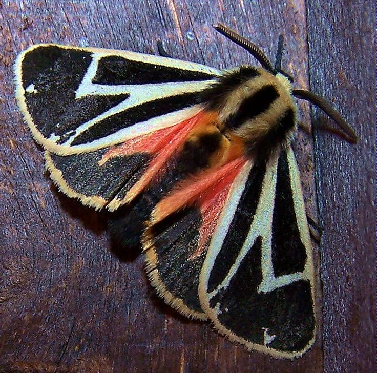 Warriors Forest Of Secrets Summary: 17 Best Images About Wonderful Moths On Pinterest