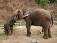 The Thai Elephant Conservation Center (TECC), founded in 1993 under Royal Patronage, cares for more than 50 Asian elephants in a beautiful forest conveniently located near the famous city of Chiang Mai. http://islandinfokohsamui.com/