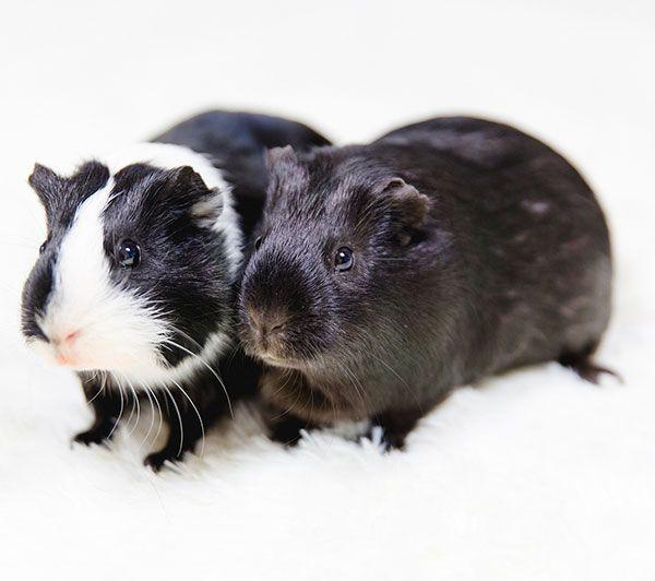 250 Namen Fur Meerschweinchen Mannchen Weibchen Paare Exotische Tierbedarfsartikel In 2020 Meerschweinchen Teddy Meerschweinchen Exotische Haustiere