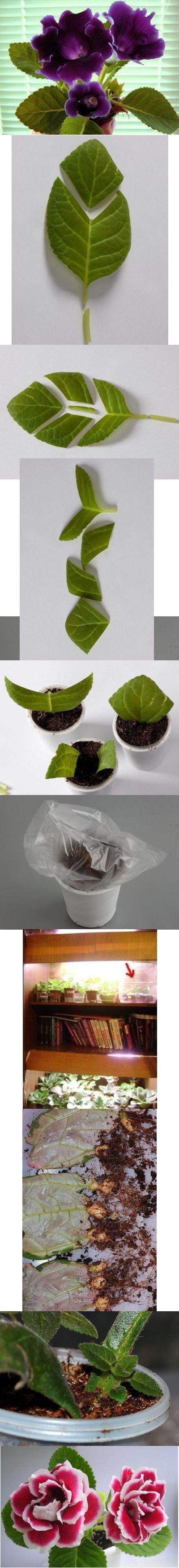 Gloxinia, reprodução e cuidados. Dê uma folha de uma planta, cortada em fragmentos, cada fragmento preparamos substrato  naturalmente fazer os buracos copo para drenagem, colocar em um copo menor de água pingando. Para estufas pode levar o bolo de embalagem, caixa de plástico, ou apenas um saco. Gloxinia não muito exigentes, necessitam o máximo de luz, calor e umidade. Os três componentes que darão resultado. Cerca de um mês, esperar o enraizamento. Enraizado mudas, podem plantar.: