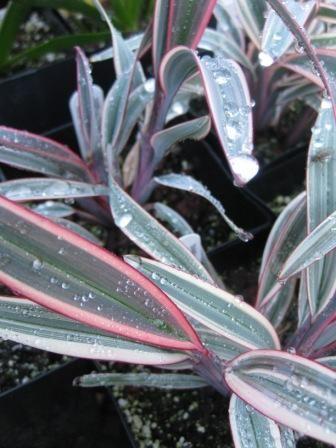 #Grass Dianella prunina Rainbow Twist