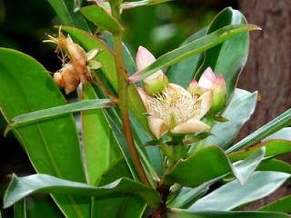 Flora dan Fauna yang Langka dan Dilindungi di Indonesia | Halaman Bacaan Online. Mata Kucing / Damar (Shorea sp)