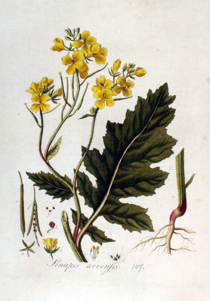 Gorczyca polna, ognicha (Sinapis arvensis)