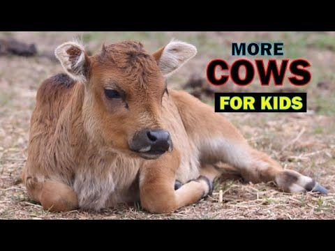 GreatVideosforKids features lots of fun videos for children. As the name says, we feature great videos for kids. We have lots of cows videos and other farm a...
