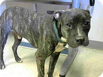 9/8/16 Patterdale Terrier (Fell Terrier) Dog for adoption in Atlanta, Georgia - KATO