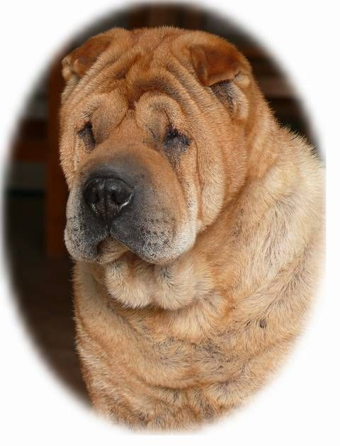 Chow Pei Chow Chow Shar Pei Mix Ocd Dogs Mixed
