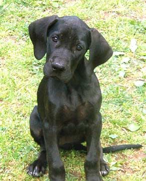 Great Dane dogs and puppies: Black Great Danes