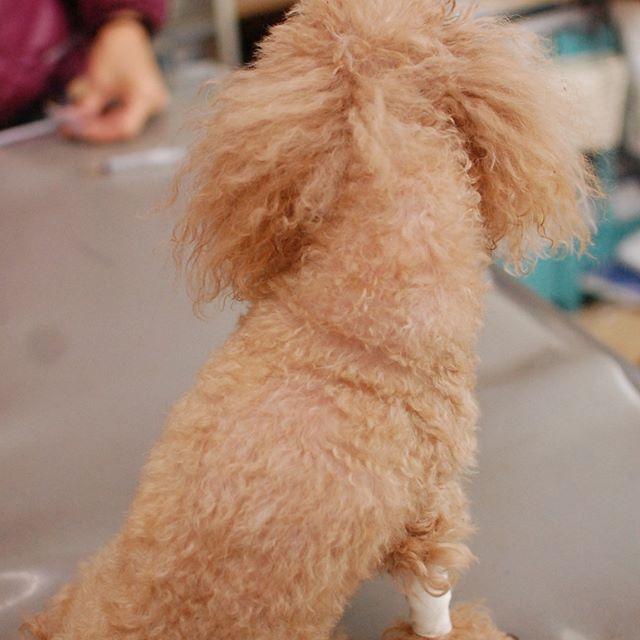 最後のスケーリング、と思って5年ぶりくらいに麻酔をかけたら、かあちゃんひどいことをしましたねと目を合わせてもらえなくなりました。とっておきのおやつで和解しましたが。  #トイプードル #toypoodle #dogstagram #poodlelovers #愛犬 #トイプードルレッド #トイプーレッド#toypoodle #instapoodle #トイプードル大好き #といぷーどる #dogsofinstagram #いぬら部 #トイプードル#トイプードル女の子 #ふわもこ部 #instapoodles #poodle #トイプーレッド #dogstagram #dogsofinstagram#動物病院#ひまわり動物病院#ちまぎょろ獣医日記